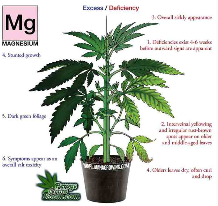magnesium deficiency in a cannabis plant, Cannabis growers forum & community, How to grow cannabis, how to grow weed, a step by step guide to growing weed, cannabis growers forum, need help with sick plant, what's wrong with my cannabis plant, percy's Grow Room, the Grow Room, Cannabis Grow Guides, weed growing forum, weed growers community, how to grow weed in coco, when is my cannabis plant ready for harvest, how to feed my cannabis plant, beginners guide to growing weed, how to grow weed for personal use, cannabis plant deficiency, how to germinate cannabis seeds, where to buy cannabis seeds, best weed growers website, Learn to grow cannabis, is it easy to grow weed,