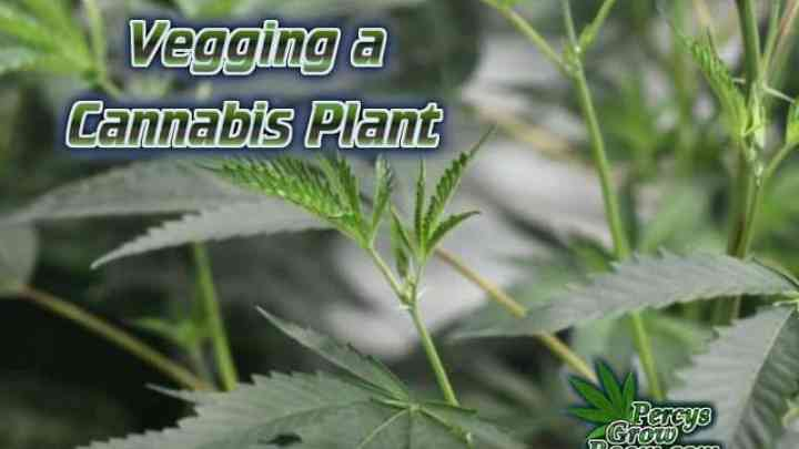 How to veg a cannabis plant, what is cannabis plant vegging, Vegetation of a cannabis plant, Cannabis growers forum & community, How to grow cannabis, how to grow weed, a step by step guide to growing weed, cannabis growers forum, need help with sick plant, what's wrong with my cannabis plant, percys Grow Room, the Grow Room, percys Grow Guides, we'd growing forum, weed growers community, how to grow weed in coco, when is my cannabis plant ready for harvest, how to feed my cannabis plant, beginners guide to growing weed, how to grow weed for personal use, cannabis plant deficiency, how to germinate cannabis seeds, where to buy cannabis seeds, best weed growers website, Cannabis Growers forum, weed growers forum, How to grow legal cannabis, a step by step guide to growing weed, cannabis growing guide, tips for marijuana growers, growing cannabis plants for the first time, marijuana growers forum, marijuana growing tips, cannabis plant problems, cannabis plant help, marijuana growing expert advice