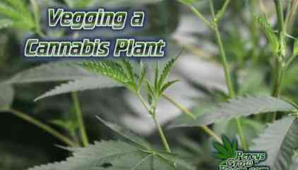 Topping a Cannabis Plant - Percys Grow Room, Learn to Grow
