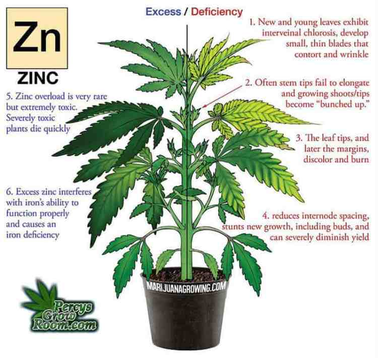 zinc deficiency in a cannabis plant, Cannabis growers forum & community, How to grow cannabis, how to grow weed, a step by step guide to growing weed, cannabis growers forum, need help with sick plant, what's wrong with my cannabis plant, percy's Grow Room, the Grow Room, Cannabis Grow Guides, weed growing forum, weed growers community, how to grow weed in coco, when is my cannabis plant ready for harvest, how to feed my cannabis plant, beginners guide to growing weed, how to grow weed for personal use, cannabis plant deficiency, how to germinate cannabis seeds, where to buy cannabis seeds, best weed growers website, Learn to grow cannabis, is it easy to grow weed,
