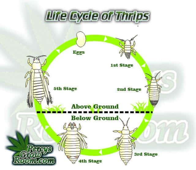 Life cycle of thrips