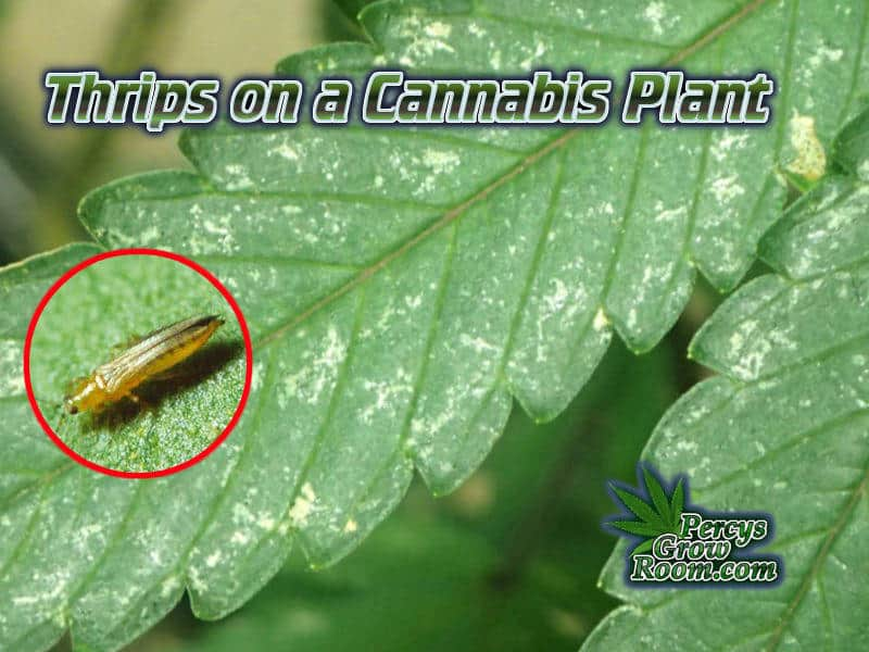 Thrips on a cannabis plant FI, silver patches on a cannabis plant, symptoms of thrips on a cannabis leaf, How to grow cannabis, how to grow weed, a step by step guide to growing weed, cannabis growers forum, need help with sick plant, what's wrong with my cannabis plant, percys Grow Room, the Grow Room, percys Grow Guides, we'd growing forum, weed growers community, how to grow weed in coco, when is my cannabis plant ready for harvest, how to feed my cannabis plant, beginners guide to growing weed, how to grow weed for personal use, cannabis plant deficiency, how to germinate cannabis seeds, where to buy cannabis seeds, best weed growers website, Cannabis Growers forum, weed growers forum, How to grow legal cannabis, a step by step guide to growing weed, cannabis growing guide, tips for marijuana growers, growing cannabis plants for the first time, marijuana growers forum, marijuana growing tips, cannabis plant problems, cannabis plant help, marijuana growing expert advice