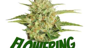 Guides on flowering cannabis plants, how does cannabis plant floweritng work, what is a cannabis plant flowering, grow cannabis, how to grow weed, a step by step guide to growing weed, cannabis growers forum, need help with sick plant, what's wrong with my cannabis plant, percys Grow Room, the Grow Room, percys Grow Guides, we'd growing forum, weed growers community, how to grow weed in coco, when is my cannabis plant ready for harvest, how to feed my cannabis plant, beginners guide to growing weed, how to grow weed for personal use, cannabis plant deficiency, how to germinate cannabis seeds, where to buy cannabis seeds, best weed growers website, Cannabis Growers forum, weed growers forum, How to grow legal cannabis, a step by step guide to growing weed, cannabis growing guide, tips for marijuana growers, growing cannabis plants for the first time, marijuana growers forum, marijuana growing tips, cannabis plant problems, cannabis plant help, marijuana growing expert advice