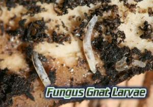 what are fungus gnats,  Cannabis growers forum & community, How to grow cannabis, how to grow weed, a step by step guide to growing weed, cannabis growers forum, need help with sick plant, what's wrong with my cannabis plant, percy's Grow Room, the Grow Room, Cannabis Grow Guides, weed growing forum, weed growers community, how to grow weed in coco, when is my cannabis plant ready for harvest, how to feed my cannabis plant, beginners guide to growing weed, how to grow weed for personal use, cannabis plant deficiency, how to germinate cannabis seeds, where to buy cannabis seeds, best weed growers website, Learn to grow cannabis, is it easy to grow weed, How to grow cannabis, how to grow weed, a step by step guide to growing weed, cannabis growers forum, need help with sick plant, what's wrong with my cannabis plant, percys Grow Room, the Grow Room, percys Grow Guides, we'd growing forum, weed growers community, how to grow weed in coco, when is my cannabis plant ready for harvest, how to feed my cannabis plant, beginners guide to growing weed, how to grow weed for personal use, cannabis plant deficiency, how to germinate cannabis seeds, where to buy cannabis seeds, best weed growers website, Cannabis Growers forum, weed growers forum, How to grow legal cannabis, a step by step guide to growing weed, cannabis growing guide, tips for marijuana growers, growing cannabis plants for the first time, marijuana growers forum, marijuana growing tips, cannabis plant problems, cannabis plant help, marijuana growing expert advice