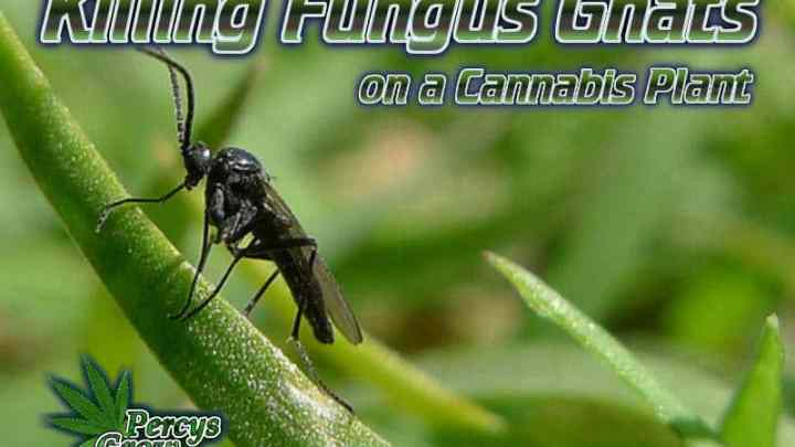 how to kill fungus gnats on a cannabis plant, how to feed my cannabis plant, beginners guide to growing weed, how to grow weed for personal use, cannabis plant deficiency, how to germinate cannabis seeds, where to buy cannabis seeds, best weed growers website, Cannabis Growers forum, weed growers forum, How to grow legal cannabis, a step by step guide to growing weed, cannabis growing guide, tips for marijuana growers, growing cannabis plants for the first time, marijuana growers forum, marijuana growing tips, cannabis plant problems, cannabis plant help, marijuana growing expert advice