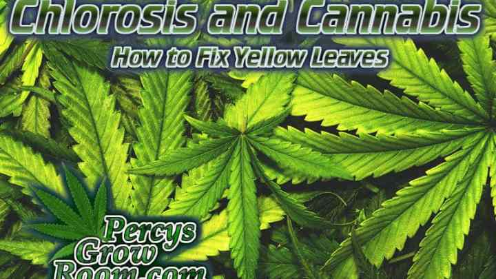 yellow leaves on a cannabis plant, chlorosis, how to feed my cannabis plant, beginners guide to growing weed, how to grow weed for personal use, cannabis plant deficiency, how to germinate cannabis seeds, where to buy cannabis seeds, best weed growers website, Cannabis Growers forum, weed growers forum, How to grow legal cannabis, a step by step guide to growing weed, cannabis growing guide, tips for marijuana growers, growing cannabis plants for the first time, marijuana growers forum, marijuana growing tips, cannabis plant problems, cannabis plant help, marijuana growing expert advice