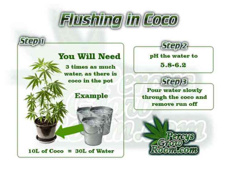 Flushing a cannabis plant in coco, how to flush a cannabis plant, flushing cannabis plant, Cannabis growers forum & community, How to grow cannabis, how to grow weed, a step by step guide to growing weed, cannabis growers forum, need help with sick plant, what's wrong with my cannabis plant, percy's Grow Room, the Grow Room, Cannabis Grow Guides, weed growing forum, weed growers community, how to grow weed in coco, when is my cannabis plant ready for harvest, how to feed my cannabis plant, beginners guide to growing weed, how to grow weed for personal use, cannabis plant deficiency, how to germinate cannabis seeds, where to buy cannabis seeds, best weed growers website, Learn to grow cannabis, is it easy to grow weed, Cannabis Growers forum, weed growers forum, How to grow legal cannabis, a step by step guide to growing weed, cannabis growing guide, tips for marijuana growers, growing cannabis plants for the first time, marijuana growers forum, marijuana growing tips, cannabis plant problems, cannabis plant help, marijuana growing expert advice
