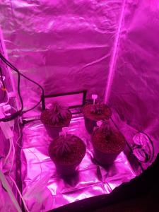 clones in the mother tent