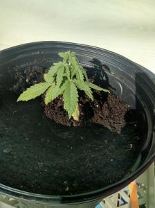 Plant in hole make sure it fits, beginners guide to growing weed, how to grow weed for personal use, cannabis plant deficiency, how to germinate cannabis seeds, where to buy cannabis seeds, best weed growers website, Cannabis Growers forum, weed growers forum, How to grow legal cannabis, a step by step guide to growing weed, cannabis growing guide, tips for marijuana growers, growing cannabis plants for the first time, marijuana growers forum, marijuana growing tips, cannabis plant problems, cannabis plant help, marijuana growing expert advice