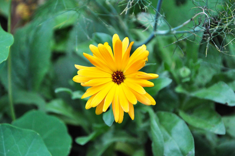 Fleur de souci (Calendula officinalis)