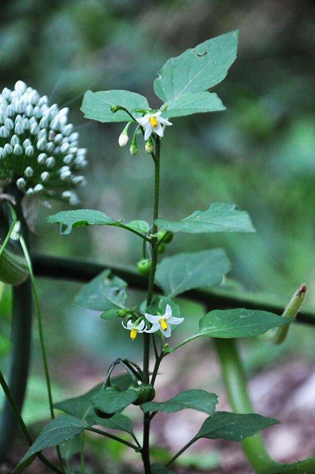 Fleurs de Morelle noire