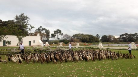 vergenoegd wine estate, stellenbosch, indian runner ducks, ducks, cute, animals, winelands, winter adventures