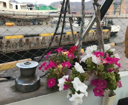 The petunias we got as a present from boat friends live on!!