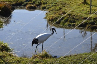 Young crane, bred in captivity, waiting to be released when mature