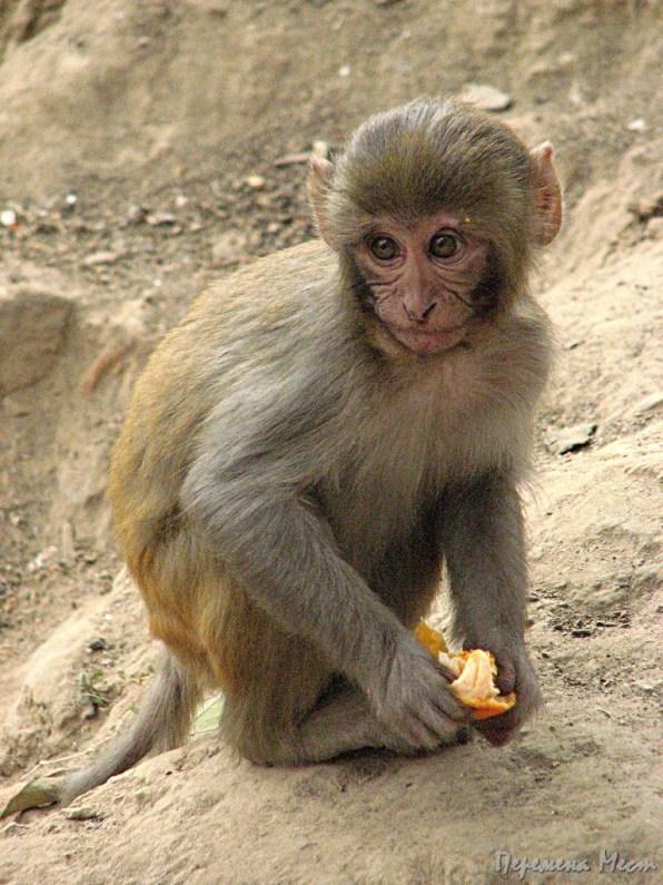 Непал обезьяны