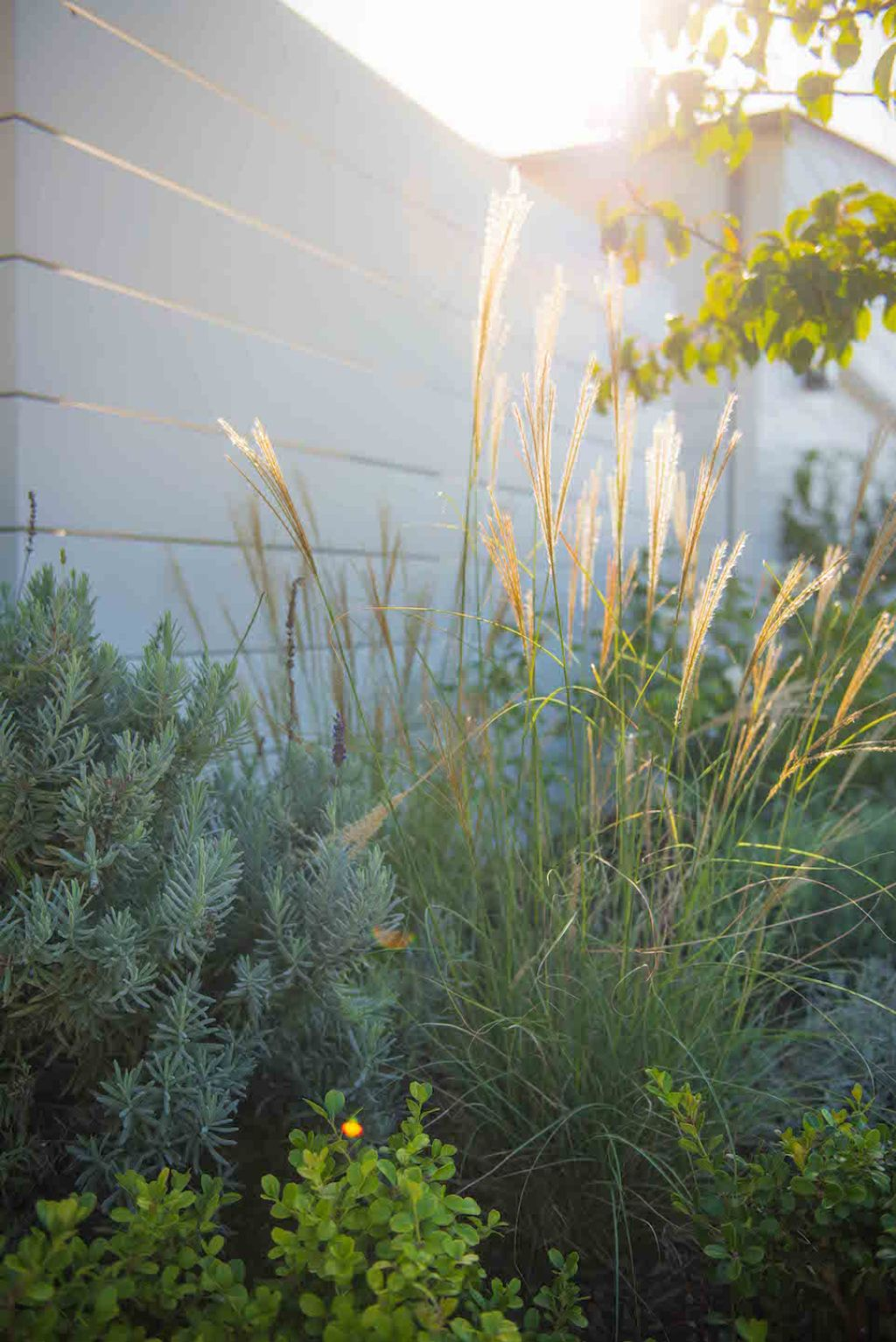 a3 mmiscanthus