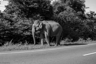 Roadside elephant safari