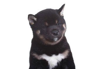 Black Shiba, black snout