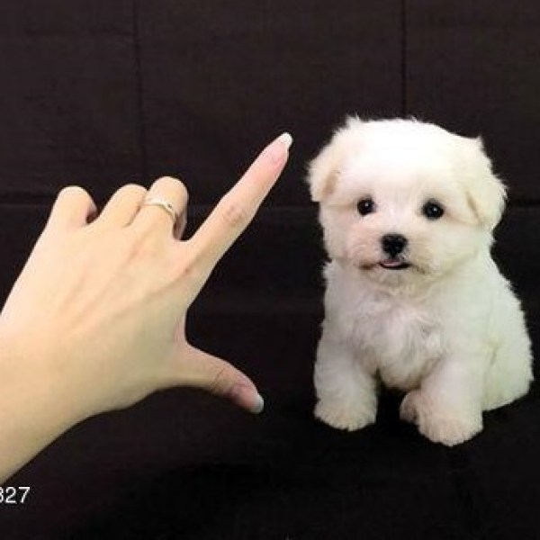 Chicago Teacup Maltese Perfect Puppycom