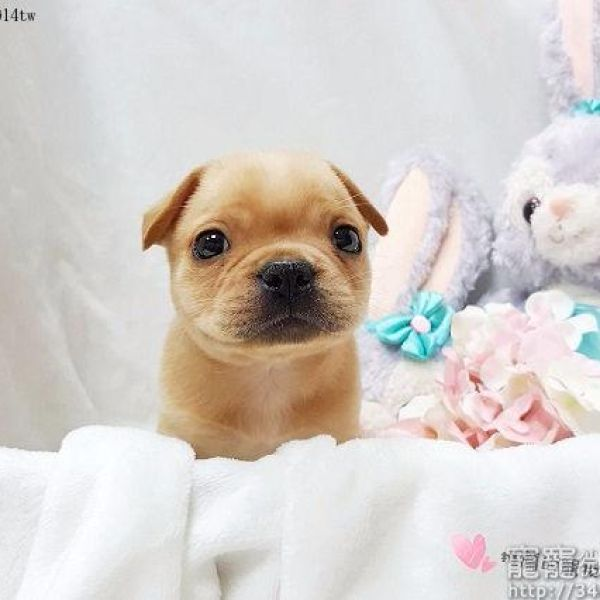 Cutest French Bulldog Puppies For Sale Near Me Perfect Puppycom