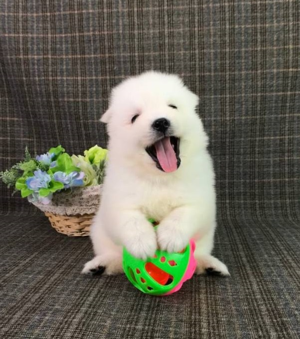 Happy the Japanese Spitz