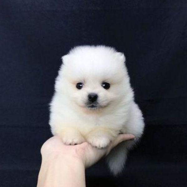 Pomeranian Puppies For Sale Near Me Perfect Puppycom
