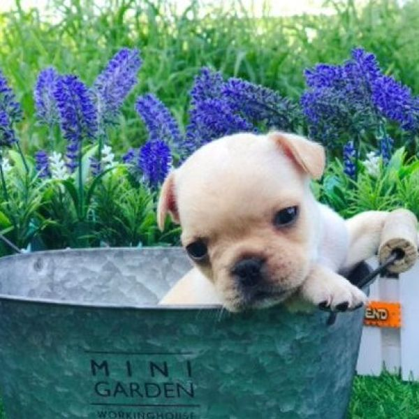 French Bulldog puppies for sale in Seattle Dallas Chicago