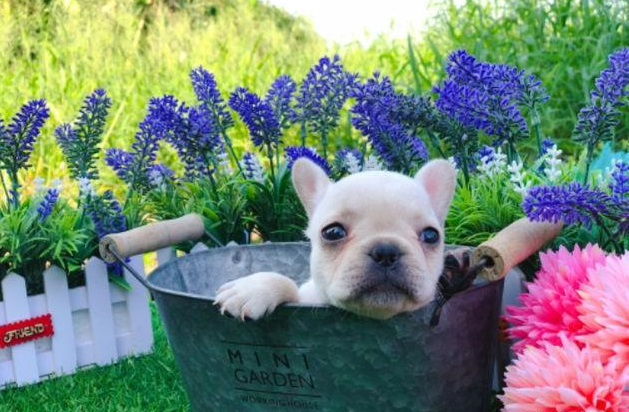 creame French bulldog 28