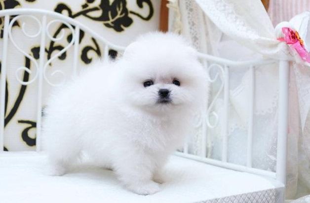 highest class White Pomeranian 4