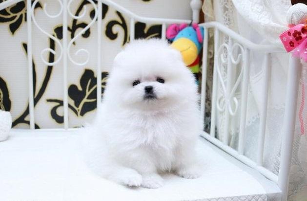 highest class White Pomeranian