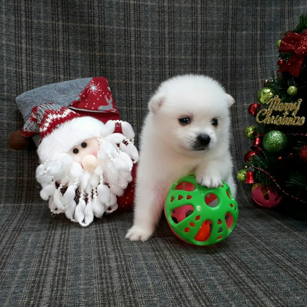 Japanese Spitz Puppies For Sale In Los Angeles Perfect Puppy Com