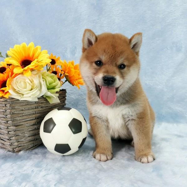 Shiba Inu Puppies For Sale In Seattle Chicago Dallas Houston