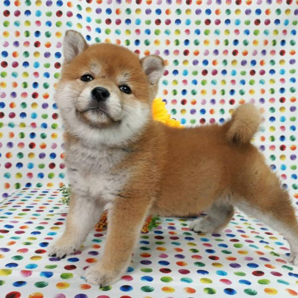 Cream French bulldog and Welsh Corgi puppies for sale