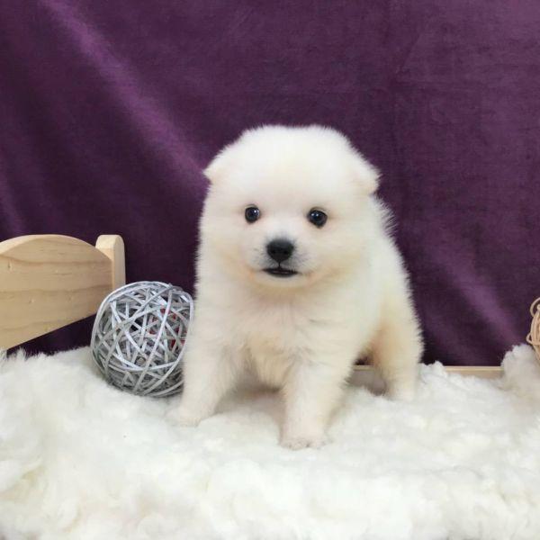 Japanese Spitz puppies for sale in New York Manhattan