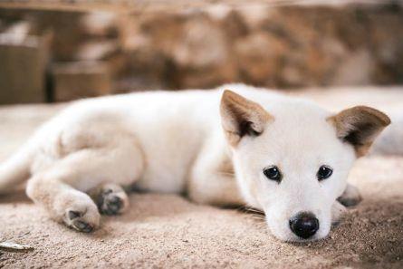 Jindo-puppy