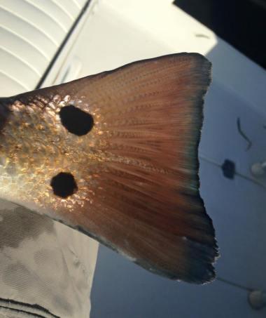 Redfish Tail St Joe Bay