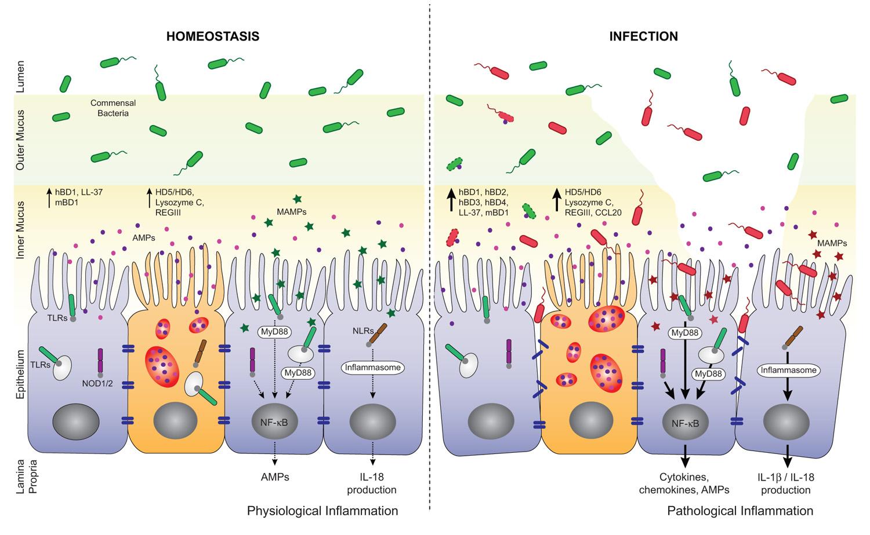 Image result for mucus secretion gut