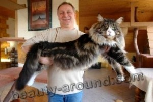 This is an example of how big Maine Coon cats can get.