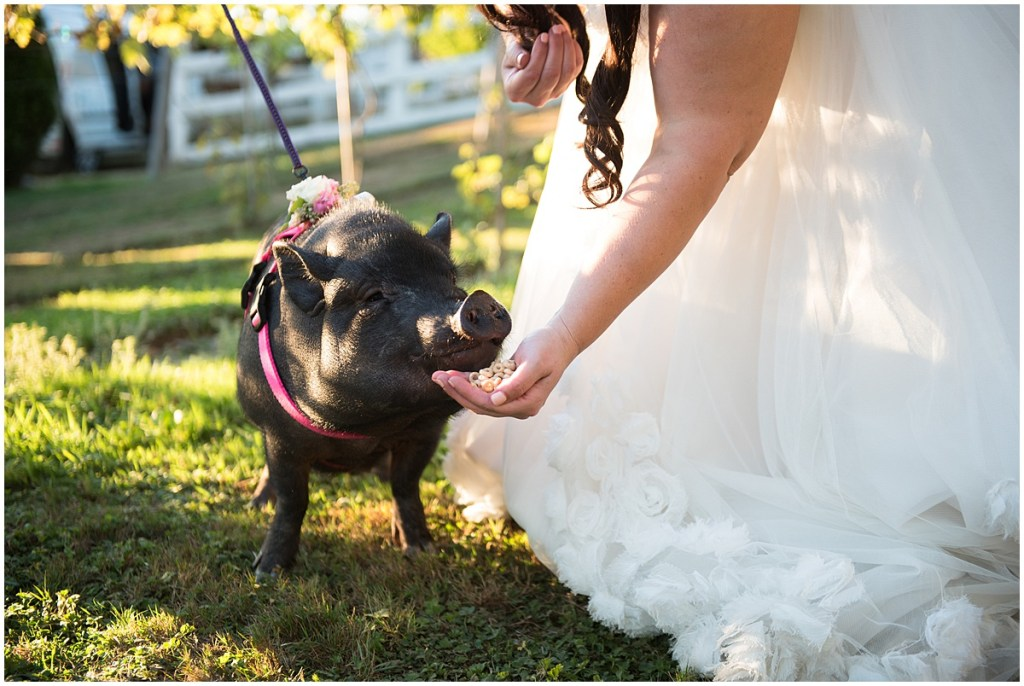 Bride bending down to feed Cheerios to a black miniature pig in a pink harness covered in flowers, DeLille Cellars wedding, Woodinville winery, Washington wedding, Perfectly Posh Events wedding planning, Photo by Barbie Hull
