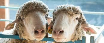 sheep-2