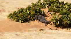 TerraVista, Spezialist für Namibiareisen: Echsen in der Namib