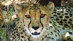 TerraVista, Spezialist für Namibiareisen: Gepard auf der Jagd