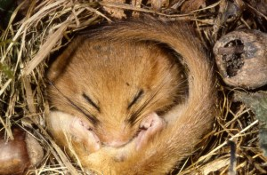 dormouse-in-torpor