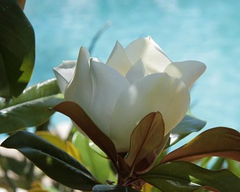 Magnolia_grandiflora Michel WikiMedia