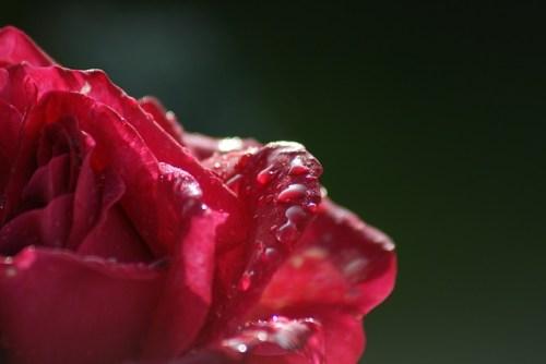Idylle Eau Sublime Guerlain rose dew Pixabay