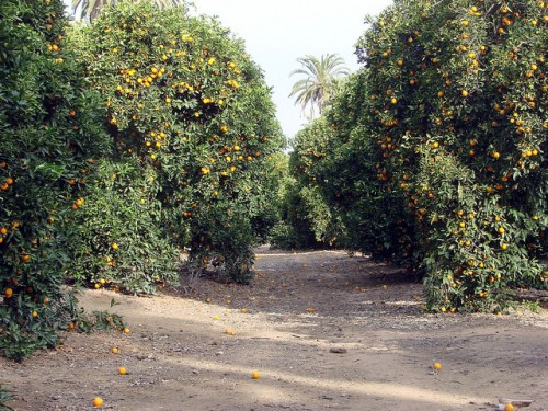 Sanguine Keiko Mecheri California Orange groves Don Graham Flickr