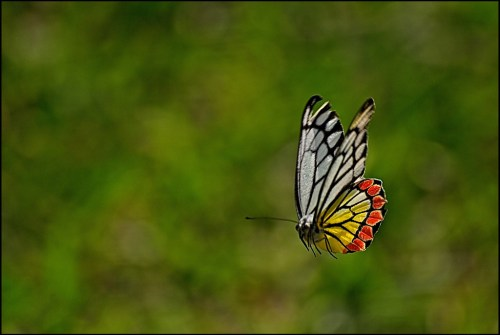 Pure Mariposa Ramon Monegal Ajith U The Flying Jezebel Flickr