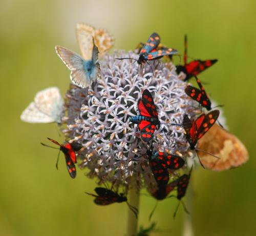Pure Mariposa Ramon Monegal Butterflies WikiMedia