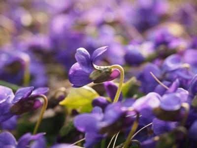Calypso Violette Calypso Christiane Celle violets Pixabay