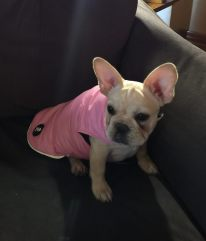 cora the frenchie in her pink puffer jacket